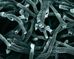 Micoproteine viste al microscopio elettronico a scansione