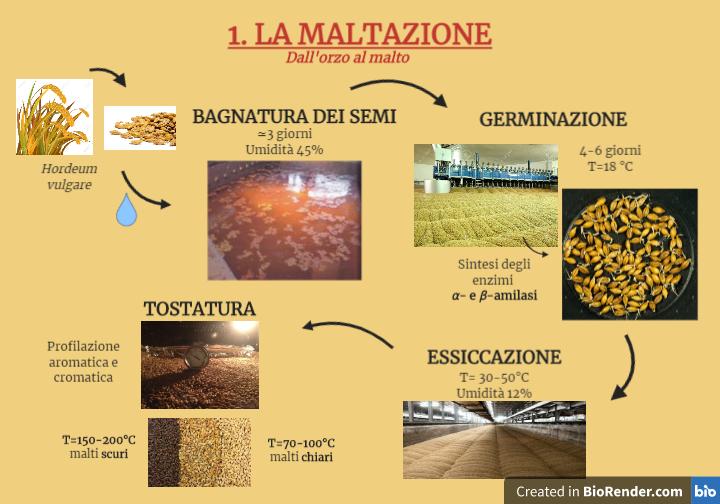 Le fasi del processo di maltazione, dall'orzo al malto.