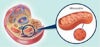 localizzazione mitocondri all'interno delle cellule eucariotiche