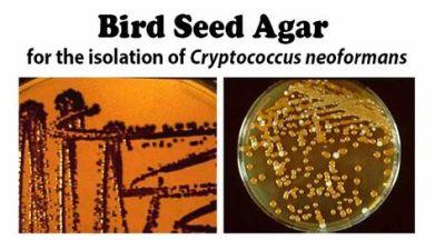 C. neoformans su Bird Seed Agar