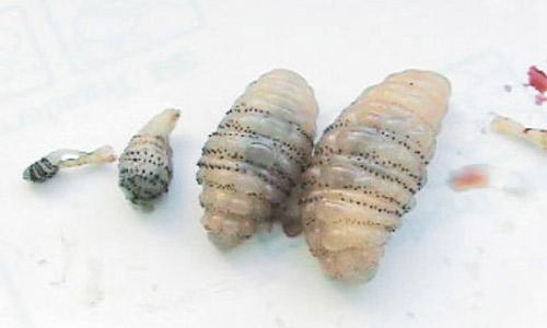 vari stadi larvali di Dermatobia hominis