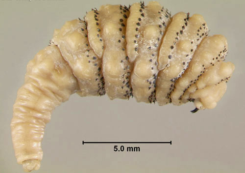 larva di Dermatobia hominis