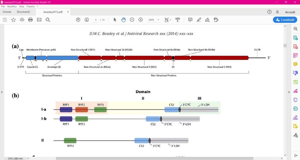 Rappresentazione schematica dell'organizzazione del genoma di YFV. Le regioni che codificano per le proteine strutturali, sono evidenziate in blu ,quelle che codificano per proteine non strutturali sono invece in rosso. I siti di clivaggio delle proteasi degli <span class='tooltipsall tooltip_post_id_43302 classtoolTips891' data-recalc-dims=