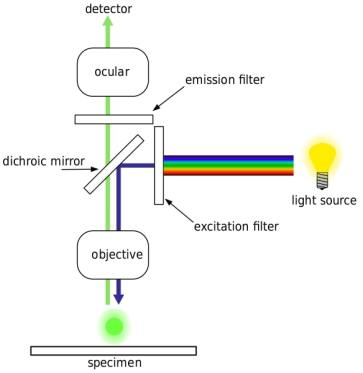 Percorso ottico semplificato del microscopio a fluorescenza