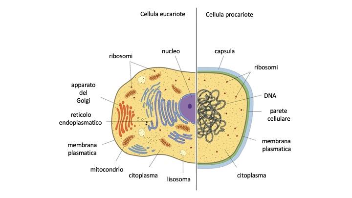 Differenze e caratteristiche comuni tra cellula eucariote e cellula procariote