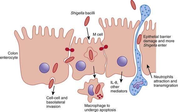 Processo di adesione epiteliale di Shigella dysenteriae