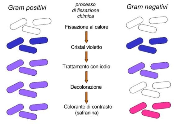 uso dei mordenzanti nella colorazione di gram