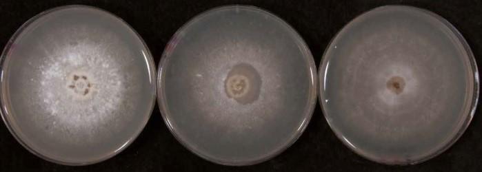 Figura 3: Colture di Tulasnella spp. su PDA (a sinistra), FIM (al centro) e 3MN+AZ (a destra).