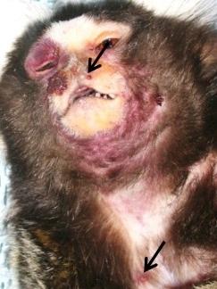 Lesioni tumorali da Yaba monkey tumor virus in una scimmia (indicate dalle frecce)