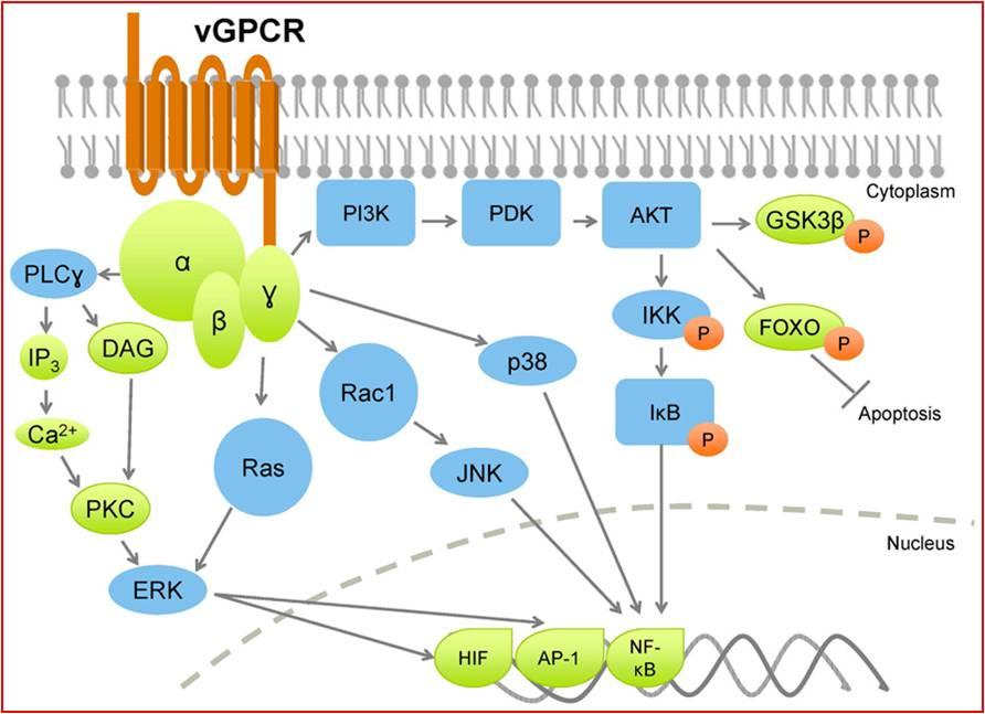 La proteina virale vGPCR promuove la proliferazione, l'angiogenesi e l'infiammazione attivando una notevole quantità di molecole segnale, tra cui PI3K, Ras, PLCγ, che vanno ad attivare fattori di trascrizione come HIF, che permette la sintesi di fattori angiogenici, AP-1, che stimola la crescita cellulare e la proliferazione, e NF-kB, che va a trascrivere geni delle citochine proinfiammatorie