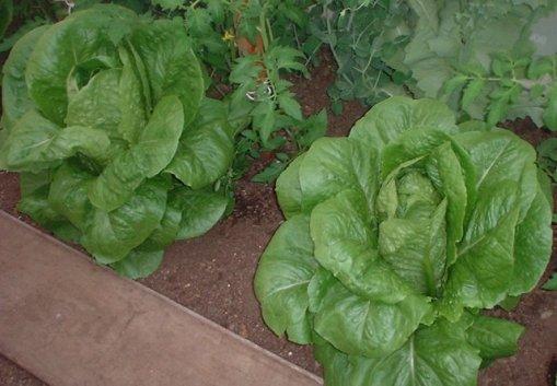 Figura 1: L'utilizzo di tè di compost favorisce le caratteristiche chimiche, fisiche, microbiologiche e fitosanitarie del suolo e delle piante.