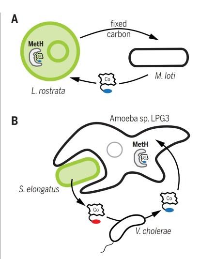 Figura 3 - A. Interazione tra alghe Lobomonas rostrata e il batterio Mesorhizobium lati; B .V. cholerae può convertire pseudocobalamina in cobalamina, per il nutrimento dell'ameba predatrice
