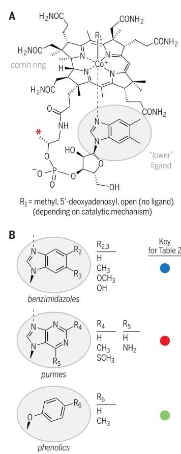 Figura 2 - A. Struttura della Cobalamina (vitamina B12) B. Tre classi strutturali di leganti