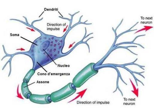 Struttura del neurone.  Bartolomeo Camillo Emilio Golgi riuscì a confutare la teoria di Otto Friedrich Karl Deiters.