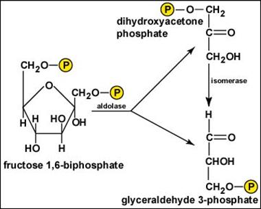 Una volta avvenuta la scissione, rapidamente il diidrossiacetone viene convertito in gliceraldeide (notare la freccia che punta verso il basso). Il meccanismo è simile a quello della seconda tappa.