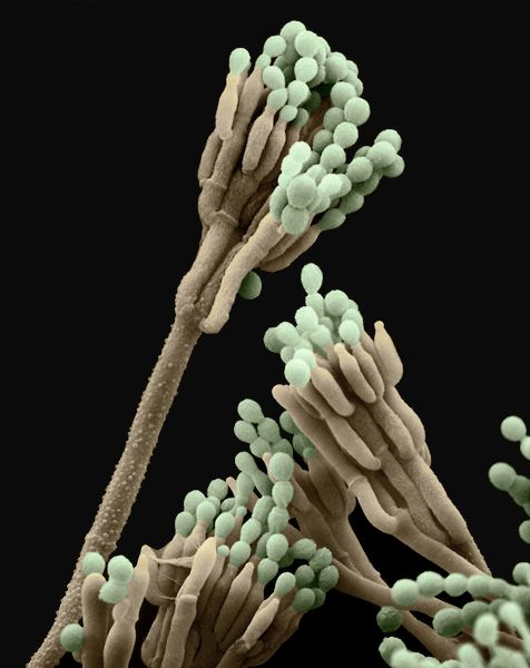 penicillium roqueforti
