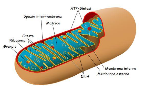 La struttura dei mitocondri