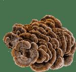 Turkey Tail Organic Mushroom Powder