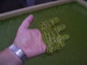 Duckweed - a must have for Microponicists