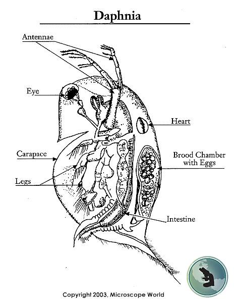 Diagram Of Daphnia