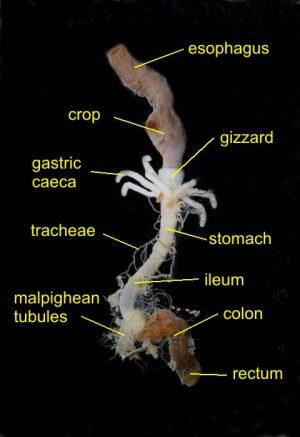 cockroaches parasites 3