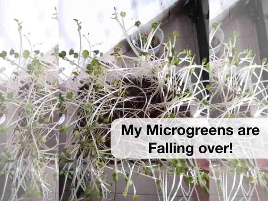 microgreen falling over