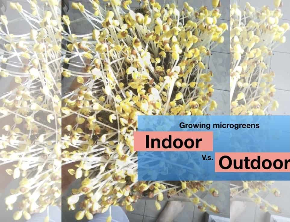 yellowish microgreens