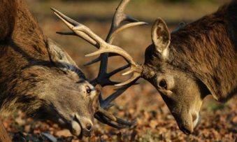 deer-rut-001