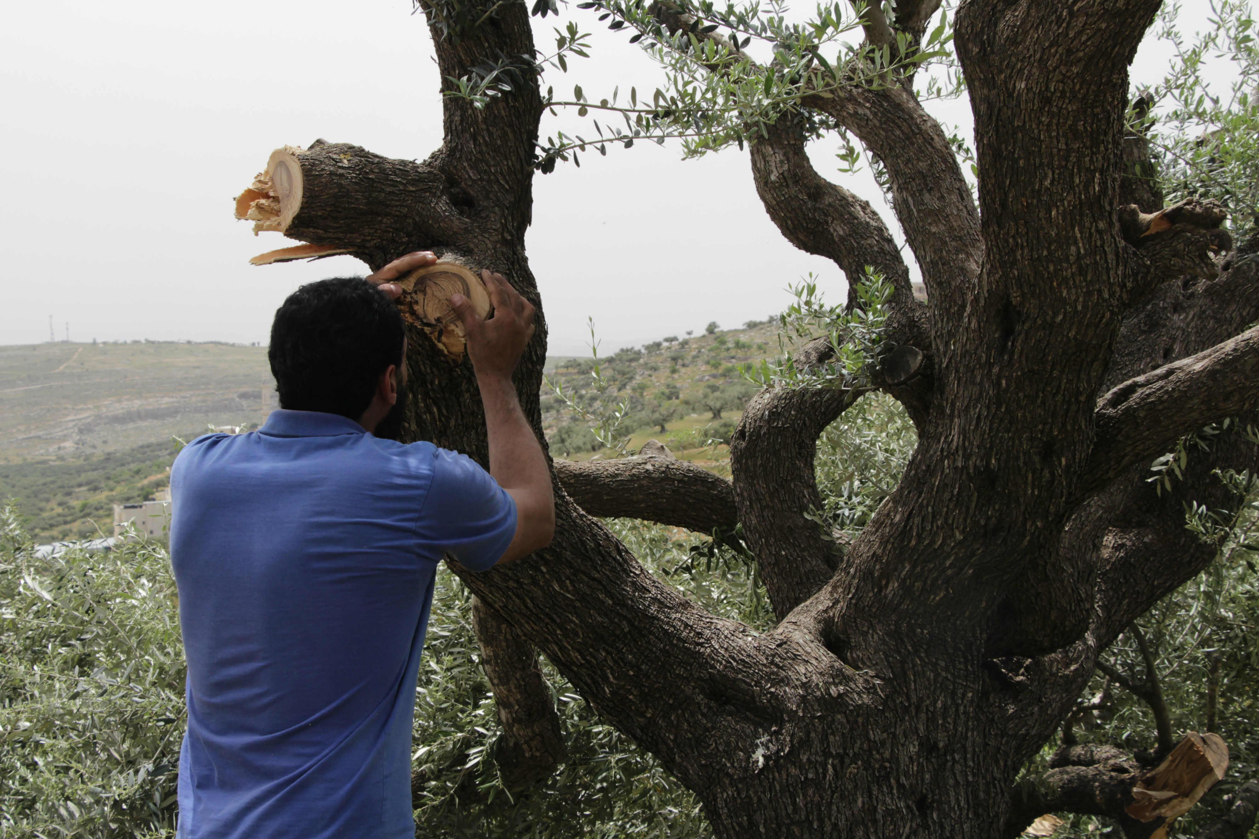 Un Palestinien inspecte un olivier après une attaque de colons (MEE/Ayat Arqawy)