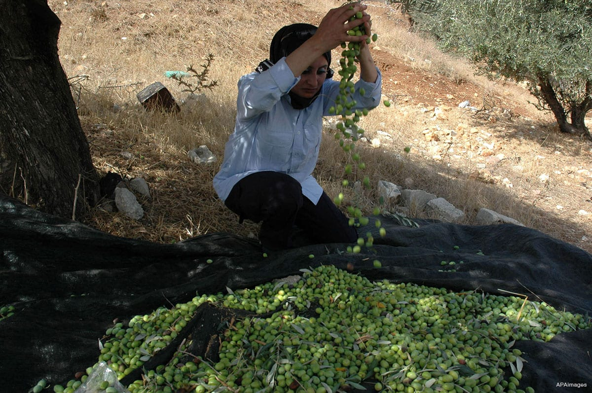 A Palestinian woman is seen helping Palestinian farmers picking olives during the harvest season in the city of Nablus, West Bank on October 11, 2009. [Photo by Nedal Shtieh]