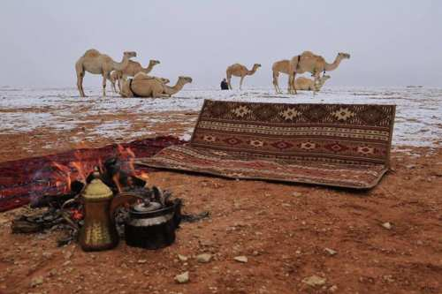 Image of camels covered in snow in Saudi [safa.ps]