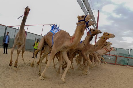 JAHRA, KUWAIT - FEBRUARY 11: Camels compete during the 17th Camel Race at Kuwait Club for Camel Race in KAbd Town of Jahra, Kuwait on February 11, 2017. Kuwait's 17th Camel Race began on Saturday with an unprecedented large number of participating best-of-breed 3,000 camels from varied countries. ( Jaber Abdulkhaleg - Anadolu Agency )