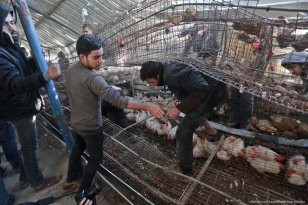 Image of a chicken farm destroyed due to Israeli airstrikes on 6 February 2017 [Mohammed Asad/Middle East Monitor]