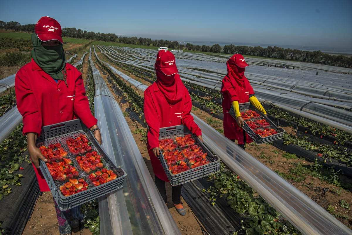 Women labourers work at a strawberry field on the country side of Kenitra province of Morocco as the world marks the International Women's Day on March 8, 2017. ( Jalal Morchidi - Anadolu Agency )