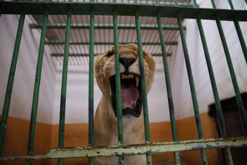 Lions, which were previously owned by Iraq's ousted President Saddam Hussein's son Uday Hussein, are being sheltered at Al Zawra Park's zoo in Baghdad, Iraq on March 27, 2017 ( Murtadha Sudani/Anadolu Agency)