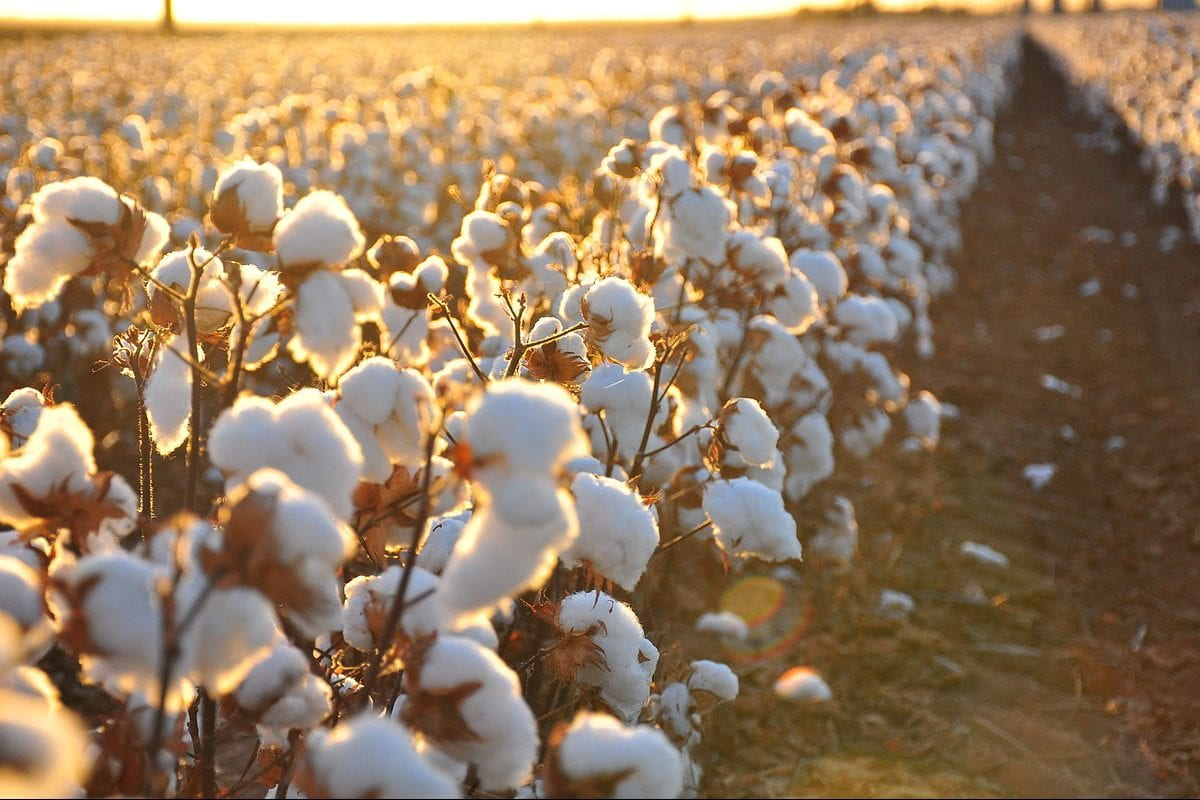 egypt s cotton exports up by 41 2 middle east monitor