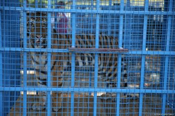 A tiger is seen in a cage from Frank Goritz, who works for the name of Four Paws, in Bursa, Turkey on 26 July, 2017. Animals were injured and sick due to the ongoing civil war [Ali Atmaca/Anadolu Agency]