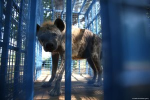 A hyena is seen in a cage in Bursa, Turkey on 26 July, 2017. Animals were injured and sick due to the ongoing civil war [Ali Atmaca/Anadolu Agency]