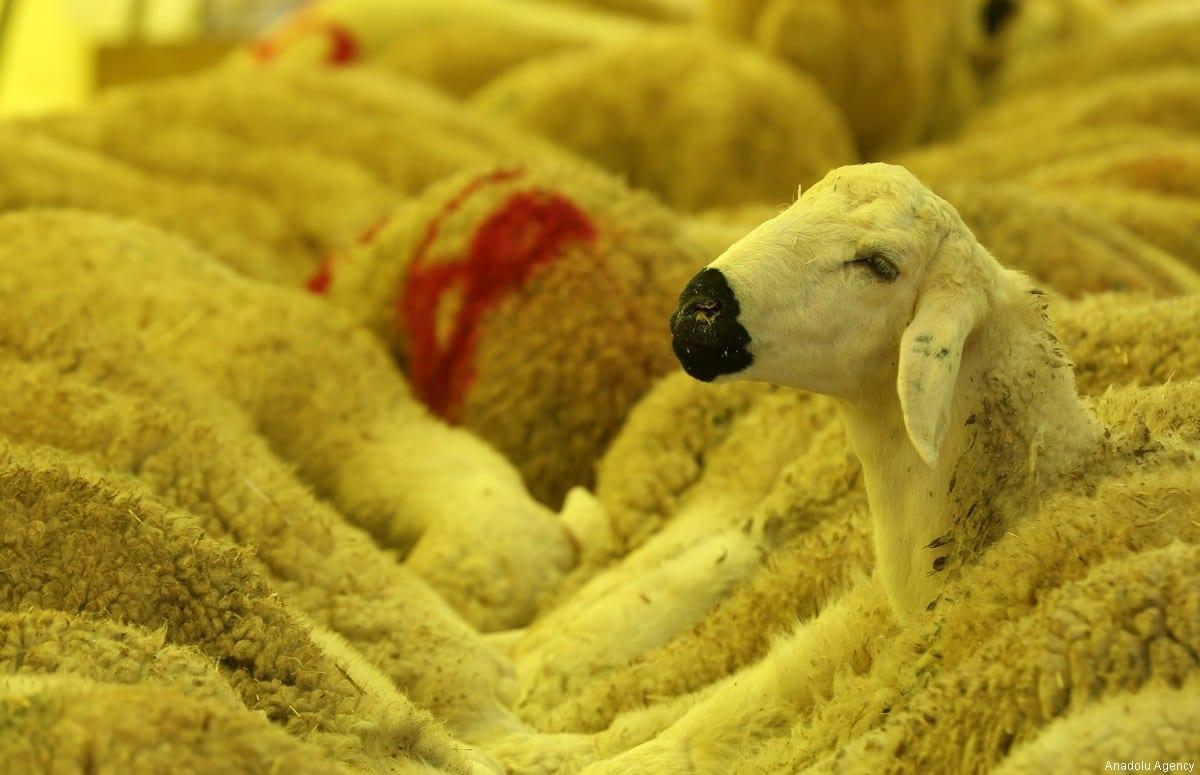 "Sheep on sale are seen at a livestock market on the eve of Muslim sacrificial festival ""Eid al-Adha"" in Ankara, Turkey on 31 August, 2017 [Raşit Aydoğan/Anadolu Agency]"