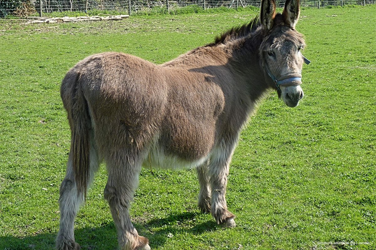 File photo of a donkey [commons.wikimedia.org | Jamain]