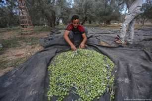 Palestinian worker sorts through freshly harvested olives in Gaza on 23 October 2017 [Mohammed Asad/Middle East Monitor]