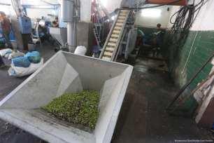 Freshly harvested olives in Gaza on 23 October 2017 [Mohammed Asad/Middle East Monitor]