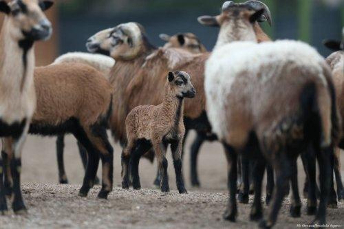 Sheep and lambs on 4 January 2018 [Ali Atmaca/Anadolu Agency]