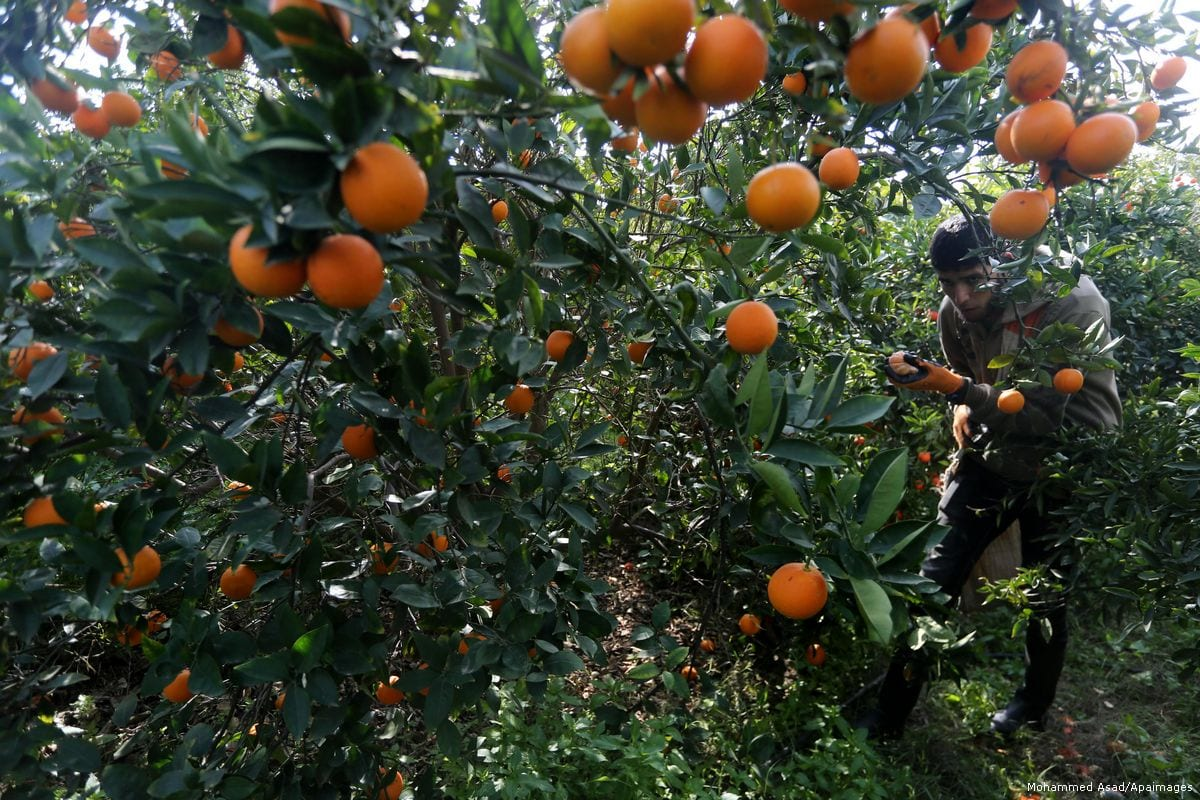A Palestinian farmer harvests citrus fruits in Gaza City [Mohammed Asad/Apaimages]