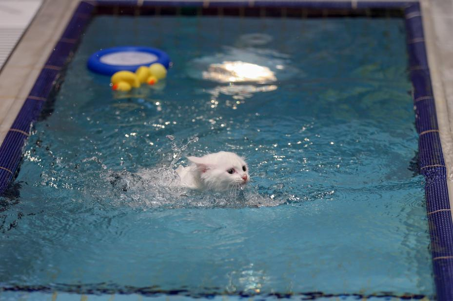 A Van cat enjoying the water during the opening ceremony of the swimming pool specially designed for the Van Cats at the Van Cat House that was founded by the Van Yuzuncu Yil University, in Van, Turkey on 28 June, 2018 [Özkan Bilgin/Anadolu Agency]