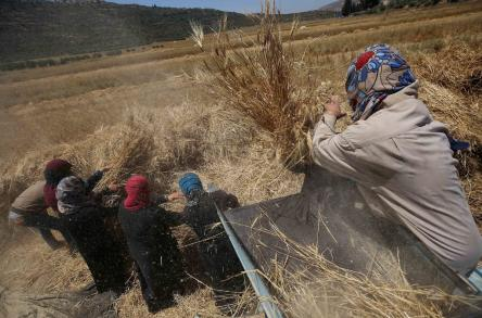 Palestinians refine grinded barley during harvest at al-Sawya village near the West Bank City of Nablus, on 26 June, 2018 [Ayman Ameen/Apaimages]