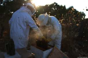 Palestinian beekeepers inspect a honeycomb before collecting honey at an apiary in Singel village near the West Bank city of Ramallah, on 5 July 2018 [Shadi Hatem/Apaimages]
