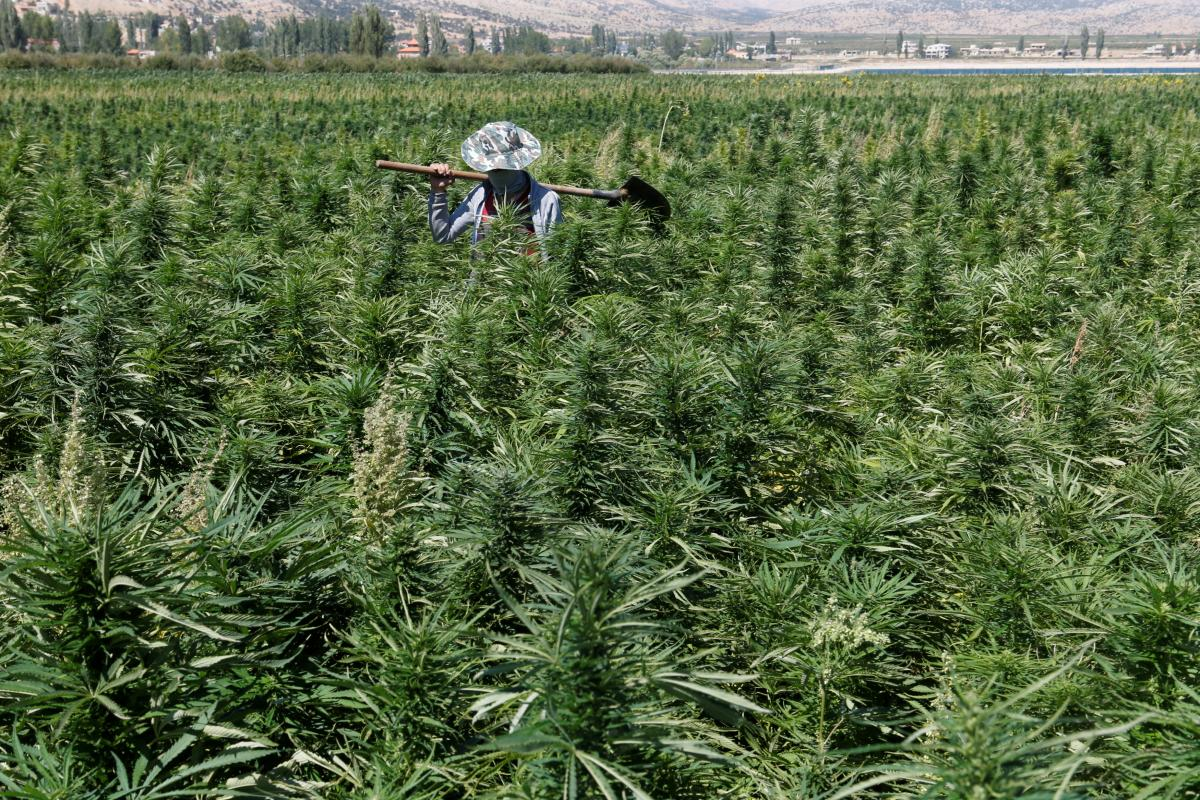A farmer is seen in a green of cannabis plants in a field overlooking a lake in Yammouneh in West of Baalbek, Lebanon on 13 August 2018. [Mohamed Azakir/ Reuters]