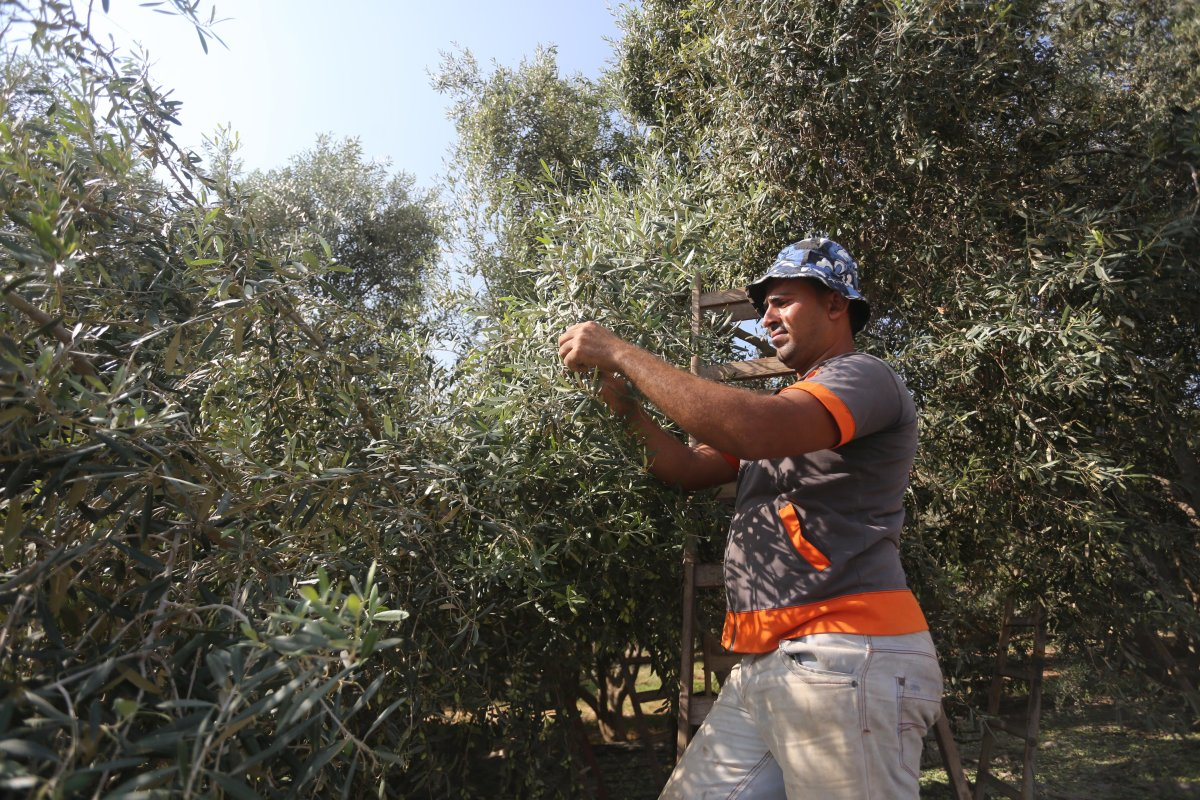 Olive harvest in Gaza [Mohammed Asad/Middle East Monitor]