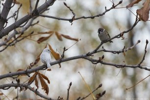 This beautiful little sparrow's white feathers are caused by lack of cells to make the normal amount of pigment that would give a sparrow its brown feathers. See the difference between them. Ankara, 9 November 2018 [Mustafa Kamacı/Anadolu Agency]